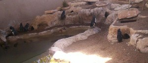 Fairy Penguins at Sea World