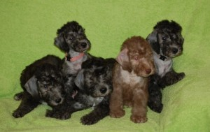 Bedlington puppies
